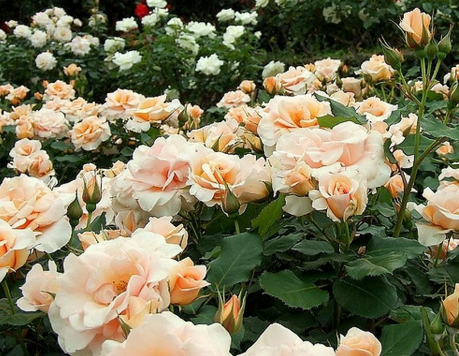 Выращивание роз в саранске 40