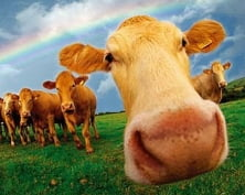 В Мордовии будут судить скотокрадов