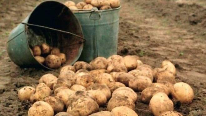 Похитительницы элитного картофеля были пойманы в Чамзинском районе