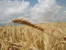 Некоторым районам Мордовии стоит поторапливаться с уборкой зерновых