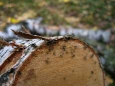 Два жителя Мордовии пойдут под суд за спиленные дубы