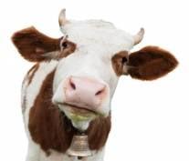 За год мордовские фермеры надоили почти 13 тыс тонн молока