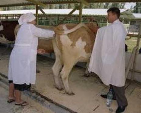 Скотоводы из Германии дадут в Мордовии мастер-класс по оплодотворению