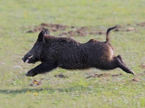 В Мордовии охотникам запретили пугать кабанов
