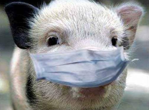 В Мордовию не пустят подозрительных свиней