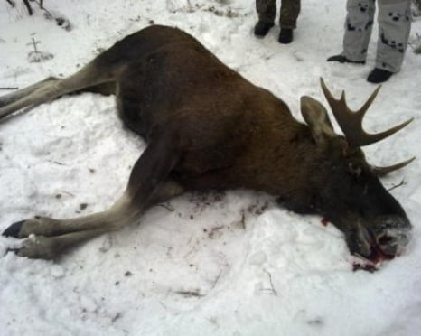 В Мордовии браконьеры убили лося