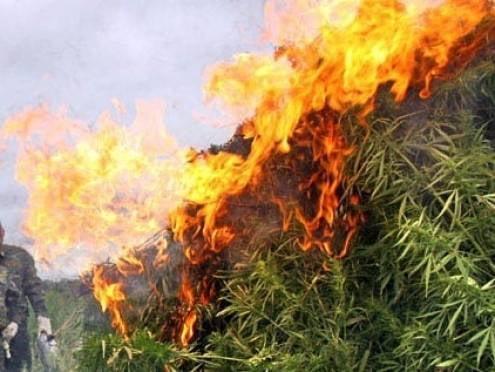 В Мордовии уничтожили 29 тонн конопли