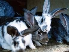 В Мордовии у пенсионера украли кроликов