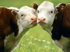 Мордовской скотине дадут почти 2 млн на наращивание мяса