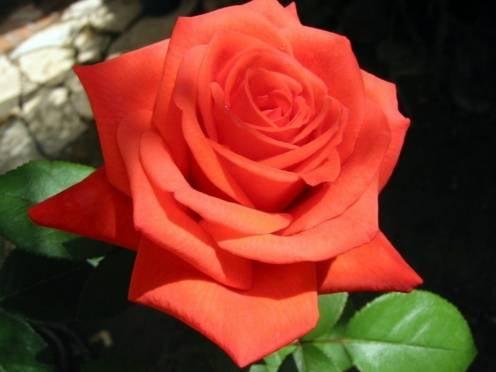 Каждая десятая роза в России выращена в Мордовии