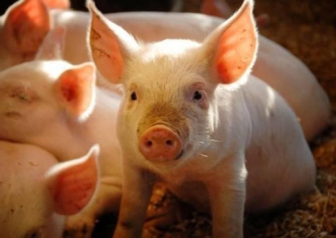 В Мордовии будут выращивать чистопородных племенных свиней