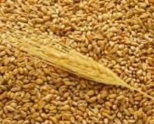 Аграрии Мордовии намерены собрать 1 млн. 300 тыс. тонн зерновых