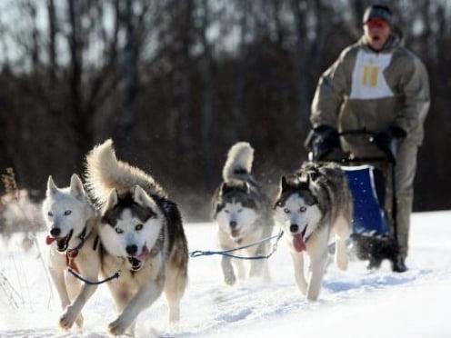 Жители Саранска погоняют на собачьих упряжках