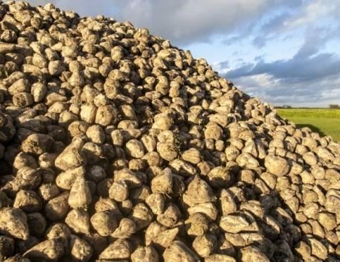 В Мордовии урожай сахарной свёклы превысил миллион тонн