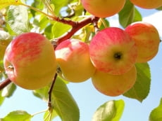 В Саранске вслед за медовой состоится яблочная ярмарка