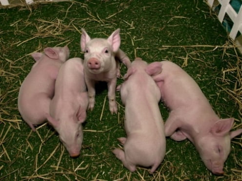 Крупнейший мясоперерабатывающий холдинг Мордовии делает апгрейд
