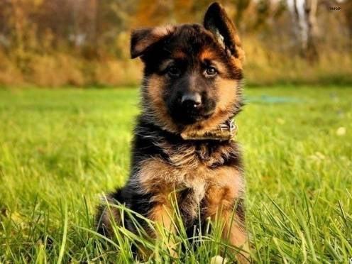 В Мордовии задержали собакокрада
