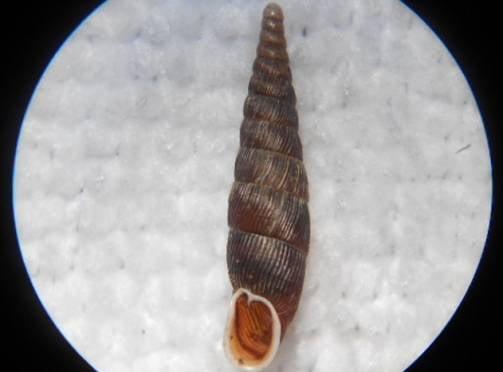 В Мордовии нашли новый для Среднего Поволжья вид моллюска