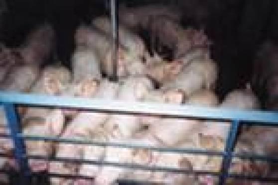 В Мордовии принимаются консолидированные меры по недопущения африканской чумы свиней
