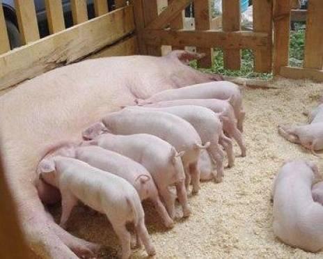 Агрохолдинг «Мордовский бекон» - в рейтинге крупнейших производителей свинины в России