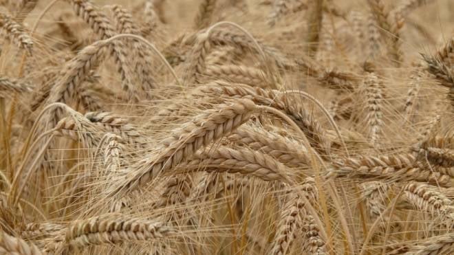 Мордовский фермер поставил мировой рекорд по урожайности зерновых