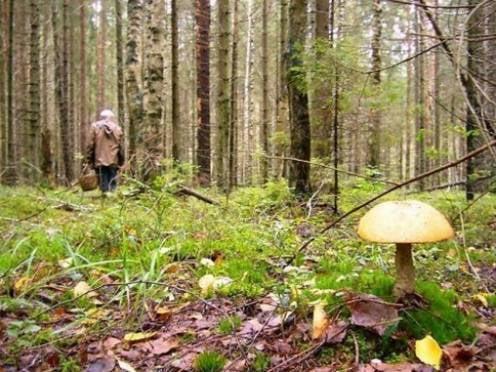 В Мордовии пропавший грибник блуждал в лесу сутки