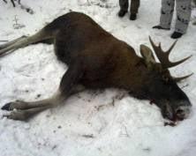 В Мордовии экс-прокурор и экс-глава Клуба правильной охоты незаконно отстреливали лосей