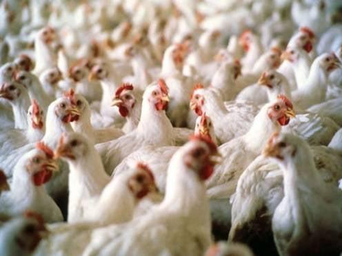 У Мордовии большие перспективы в птицеводстве