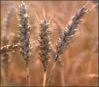 В Мордовии выявлен факт посева крупной партии непроверенных семян