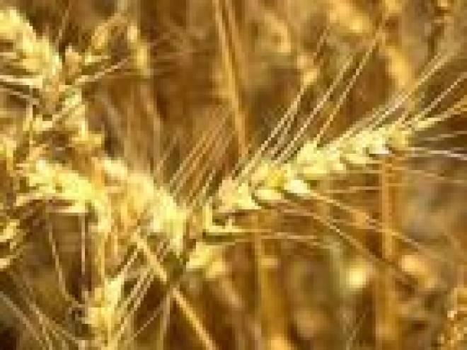 Средняя урожайность зерновых в Мордовии –  4-5 центнеров с гектара