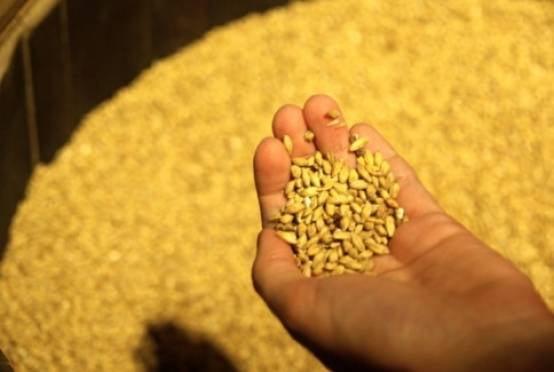 Урожай зерновых в Мордовии достиг 1 миллиона тонн