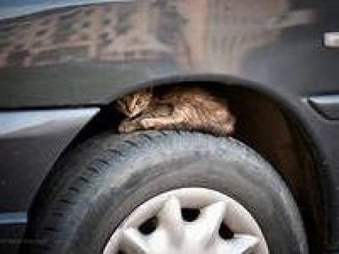 Внимание, водитель! Ты можешь стать причиной смерти животного
