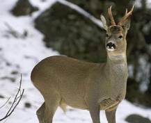 В Мордовии браконьеры убили редкую косулю