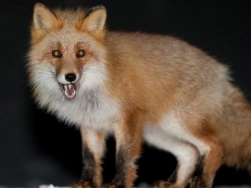 В Мордовии расплодились лисы