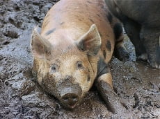 Африканская чума свиней может нанести серьёзный удар по экономике Мордовии