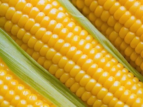 Венгрия поможет Мордовии выращивать кукурузу и делать лампочки
