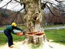 В более чем полмиллиона рублей оценена самовольная вырубка деревьев в Саранске