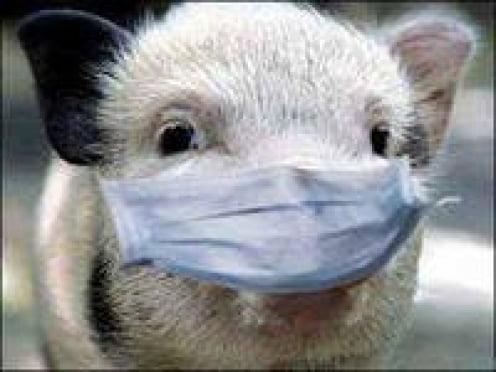 Мордовии угрожает африканская чума свиней