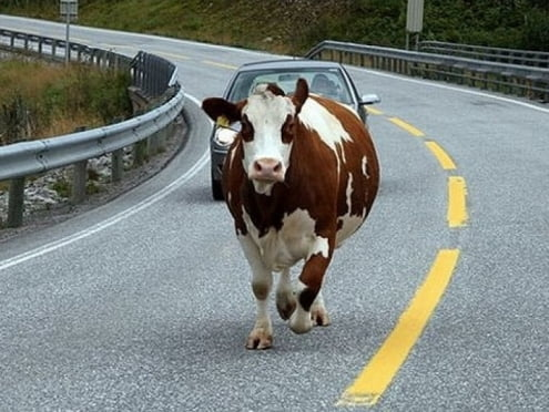 ДТП в Мордовии: корову погубил недосмотр хозяйки