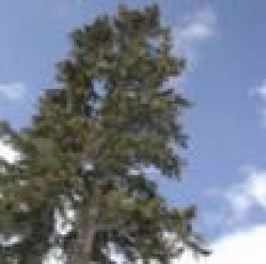 Сегодня в Саранск привезут главную новогоднюю елку