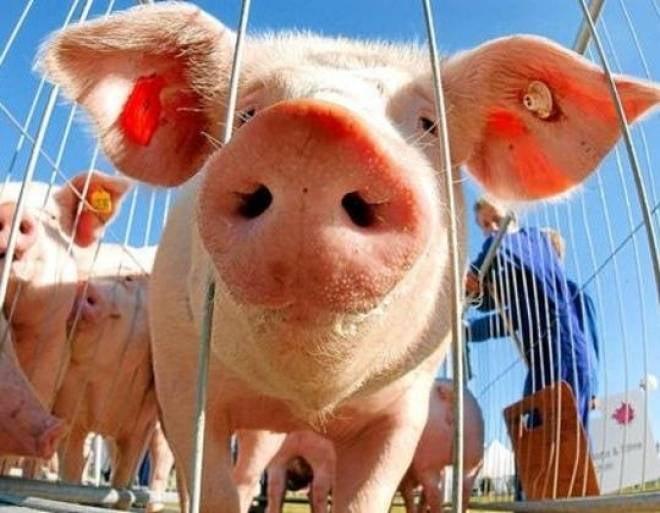 Мордовия отличилась в свиноводстве