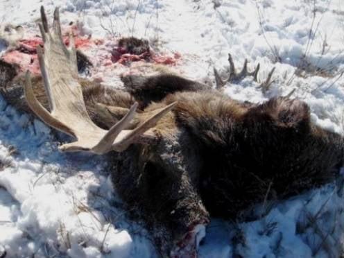 Прокурора из Мордовии наказали за убийство лосей