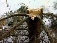 Житель Мордовии срубил двадцатиметровую ель