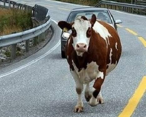 В Мордовии «Жигули» врезались в корову: двое ранены, один погиб