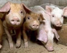 На границе Мордовии и Пензенской области будут задерживать подозрительных свиней