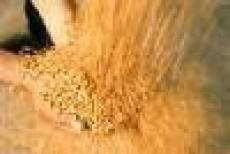 Урожай зерновых в Мордовии составил около 400 тысяч тонн