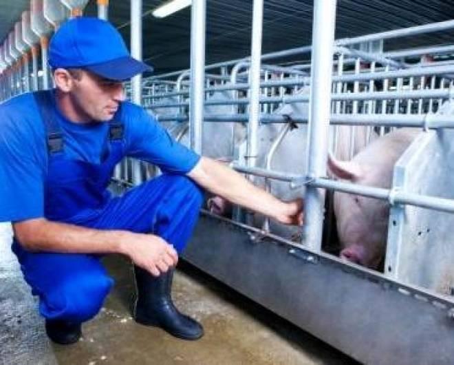 Сегодня в Мордовии состоится запуск строительства современного свинокомплекса