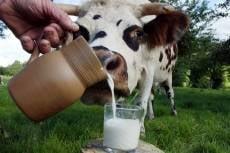 Мордовия добилась рекордных за последние 20 лет надоев молока
