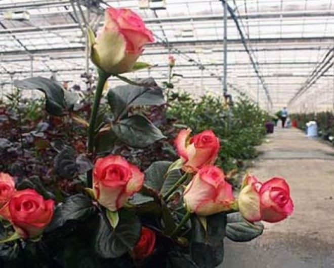 Николай Меркушкин к 8 марта подарил самарским женщинам розы из Мордовии