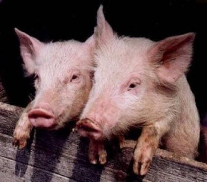 В Мордовии ситуация с африканской чумой свиней находится под контролем